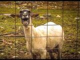 Goat Scream