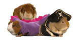 Guinea-pigs.png