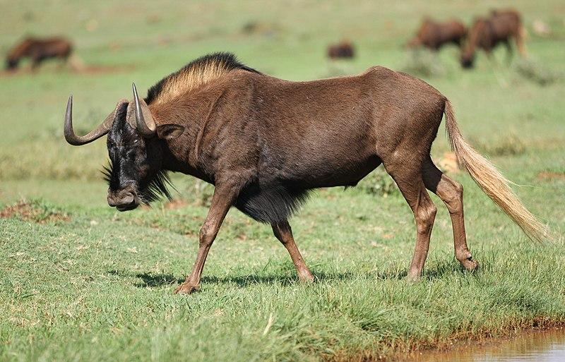 Kasai wildebeests