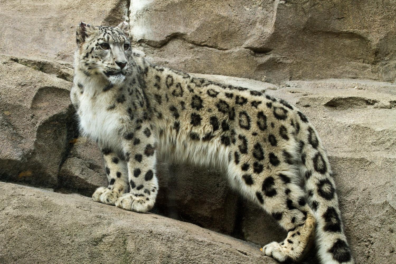 Leopard lynx