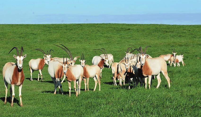 Laurasian scimitar oryxes