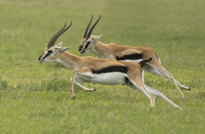 Kasai gazelles