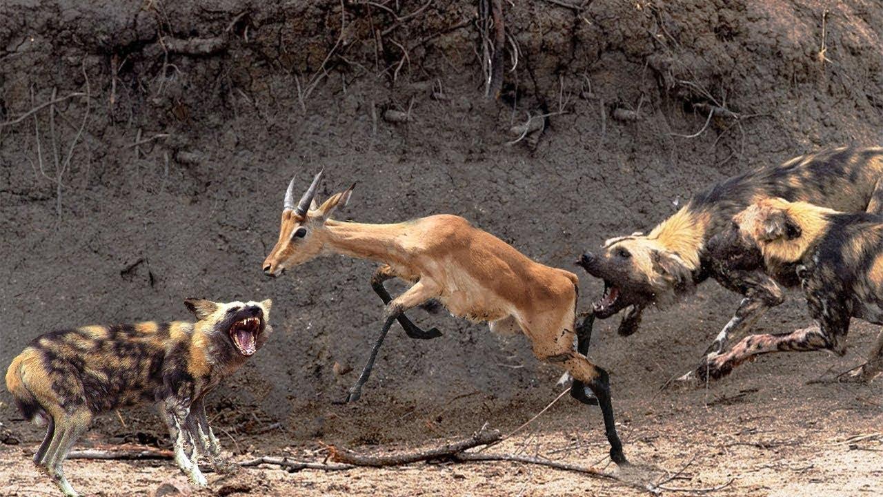 Hayau wild dogs