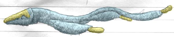 Undulocetacidea (Animula)