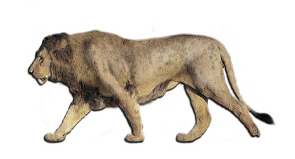 Hayau lions