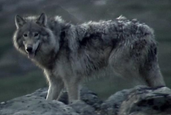 Basin Archipelago wolves
