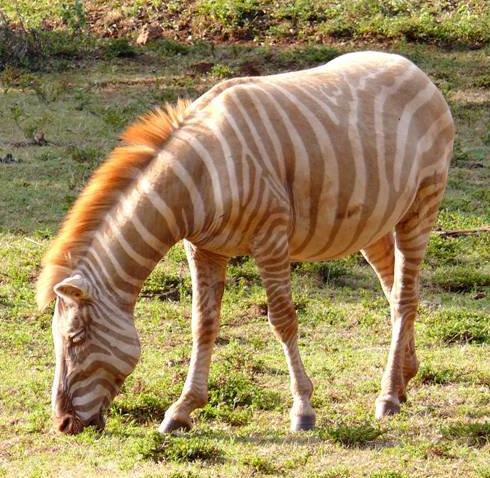 Hayau zebras