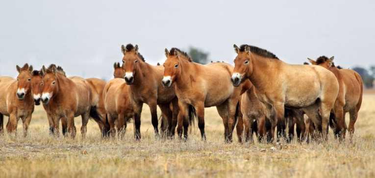 Kasai wild horses