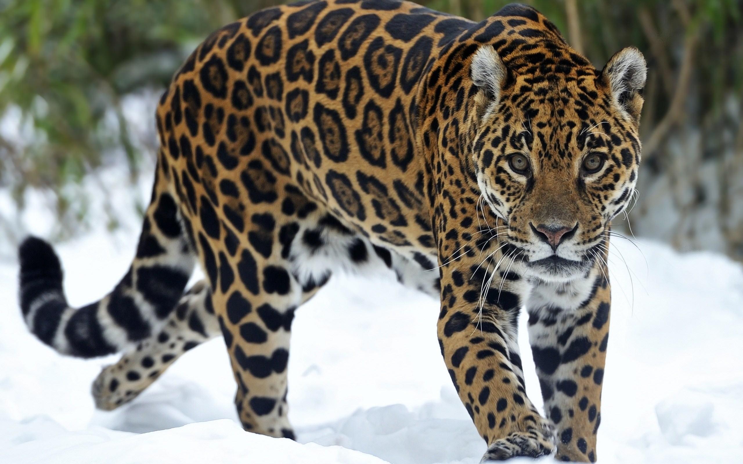 Nean jaguars
