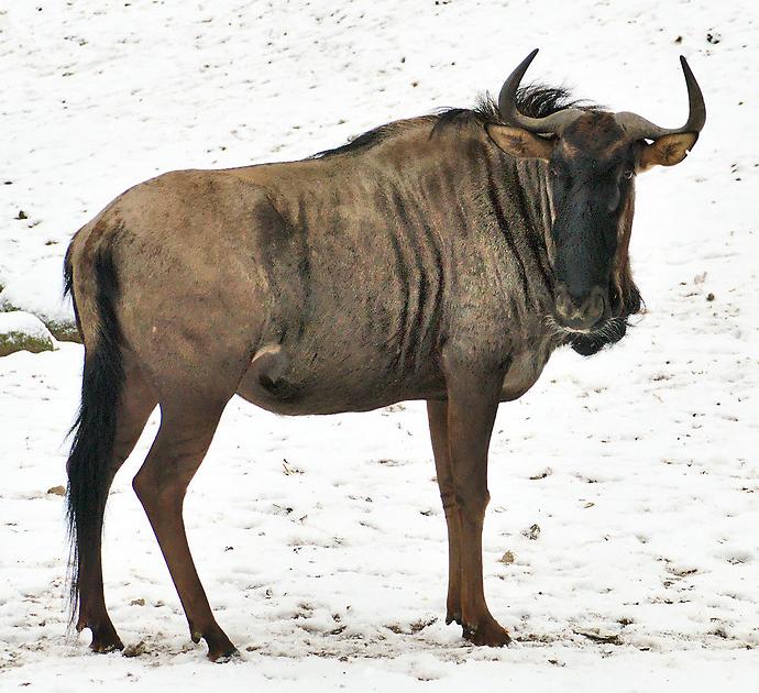 Nean wildebeests