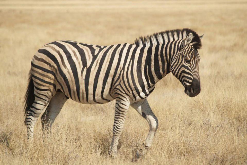 Kasai zebras