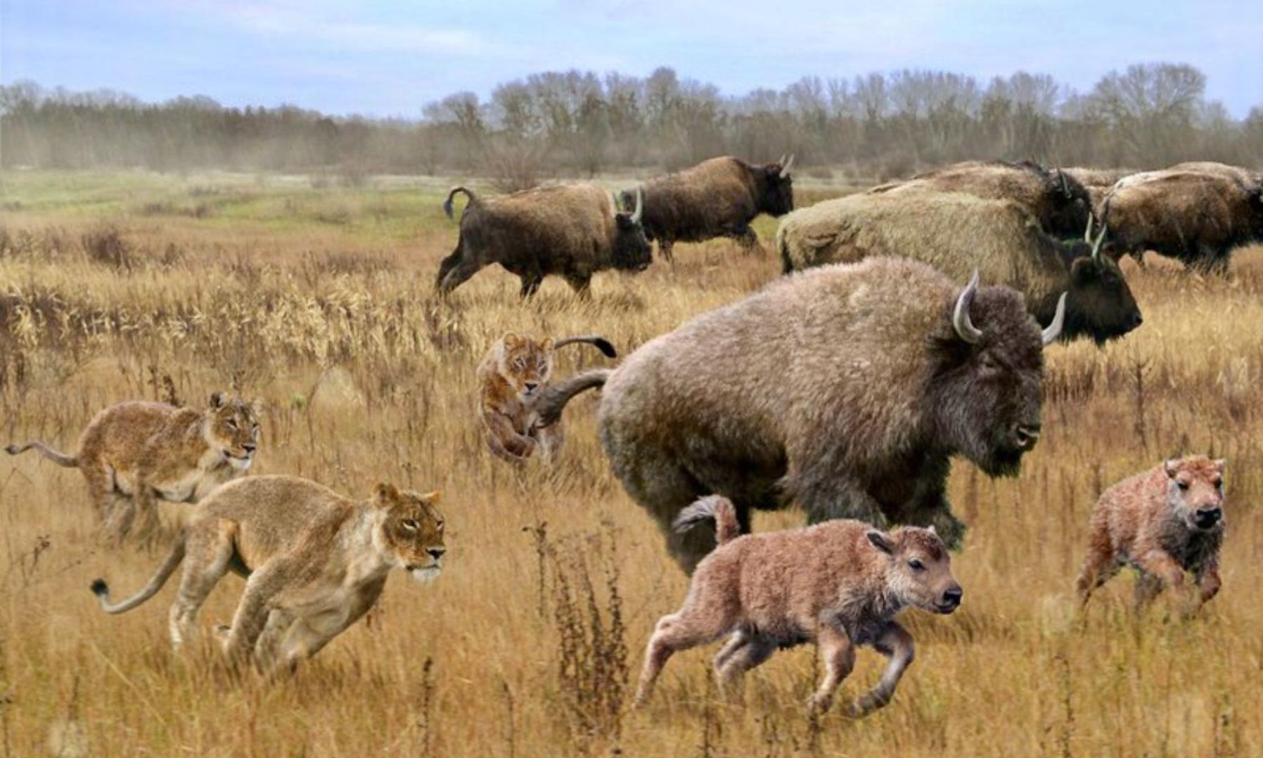 Kasai bison