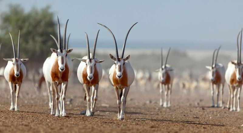 Hayau scimitar oryxes