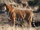 African tiger (New Pleistocene)