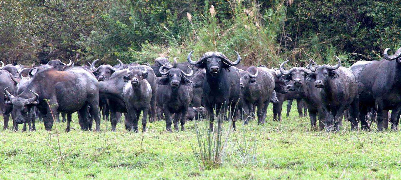 Laurasian buffaloes