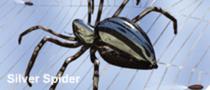 Silver spider sitting