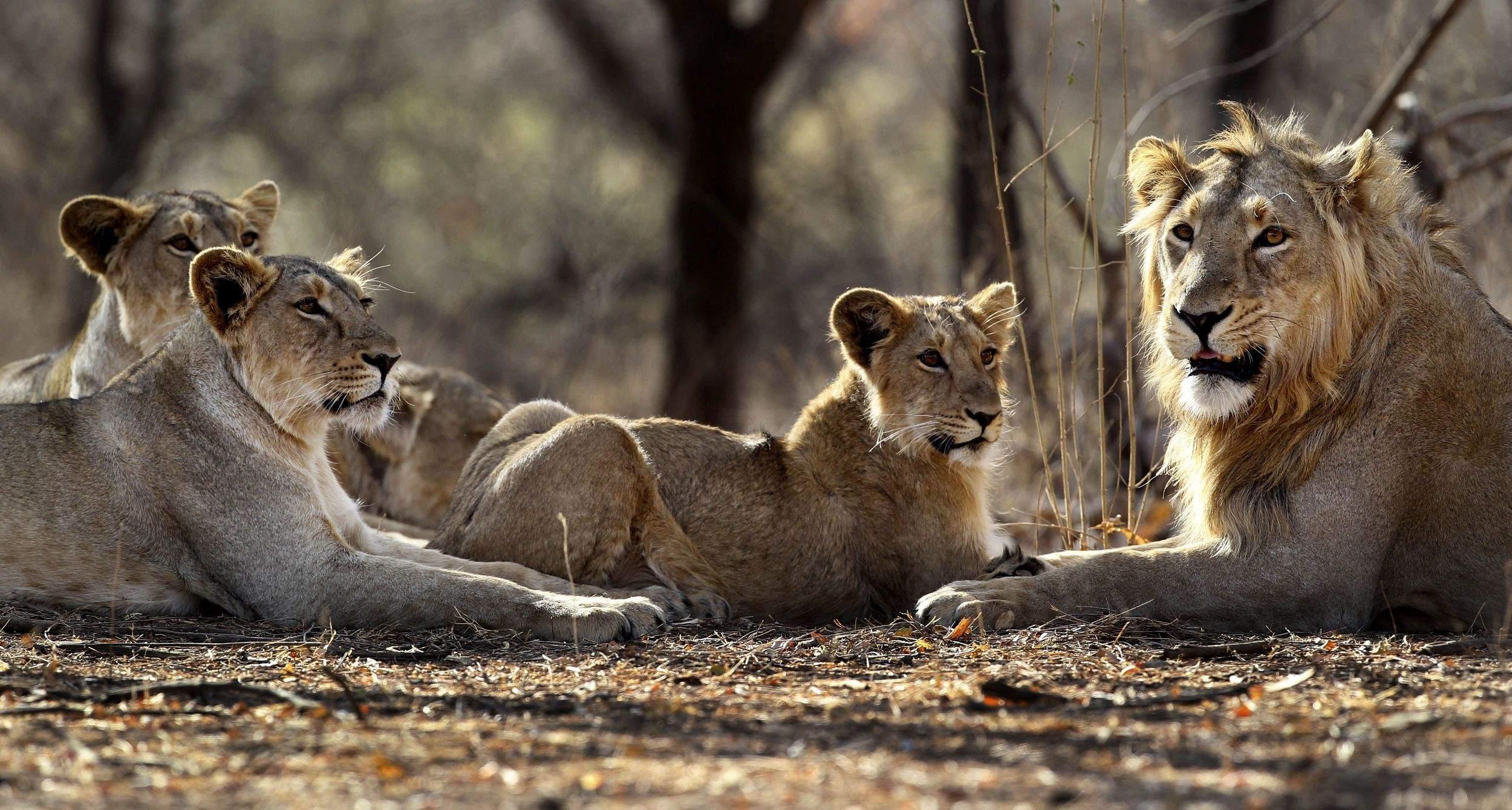 Laurasian lions