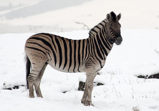 Nean zebras