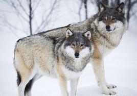 Narma wolves