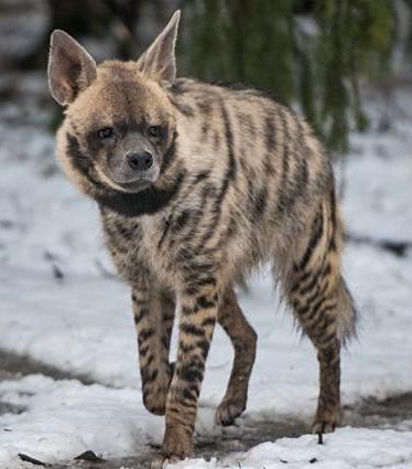 Kasai striped hyenas