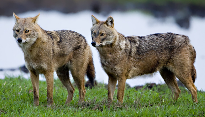 Laurasian jackals