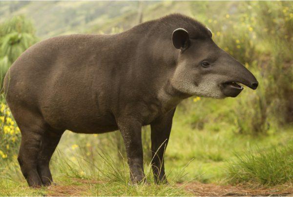 New Zealand tapir (New Pleistocene)