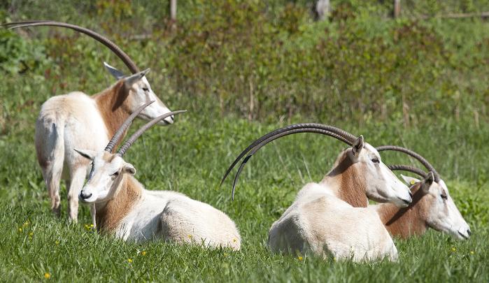 Kasai scimitar oryxes