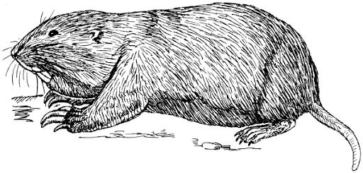 California gopher (New Pleistocene)