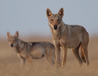 Kasai wolves