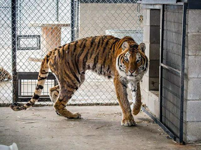 American tiger (New Pleistocene)