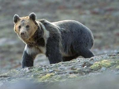 Nean brown bears