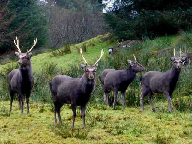 Laurasian sika deer