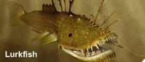 Lurkfish