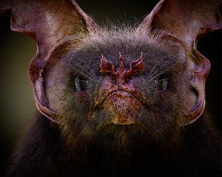 Nosferapoda kinskii