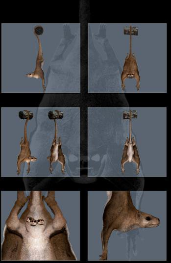 Trichopteryx dixoni