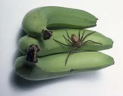 A specimen of Heteropoda venatoria on bananas, a harmless species of 'huntsman spider' often mistaken for Phoneutria