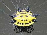 Kite Spider (Gasteracantha cancriformis)