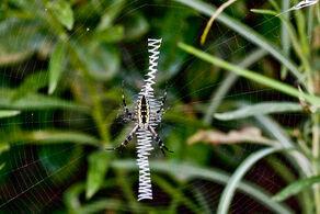 800px-Yellow garden spider zig zag web.jpg
