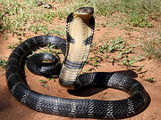 A king cobra
