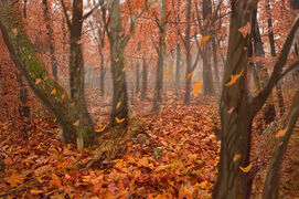 Red Forest Falling Leaves.jpg