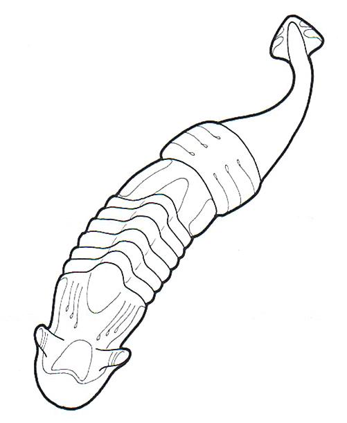 Antarean dryworm