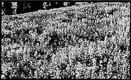 Akers iv crops surface