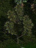 Romulan fig tree