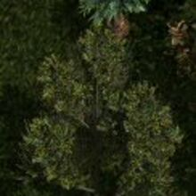 Romulan fig tree.jpg