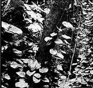Bu'uliev plant