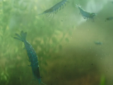 Krill (creature)