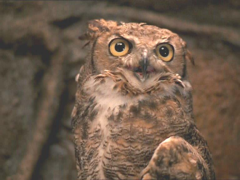 Lograys owl.jpg