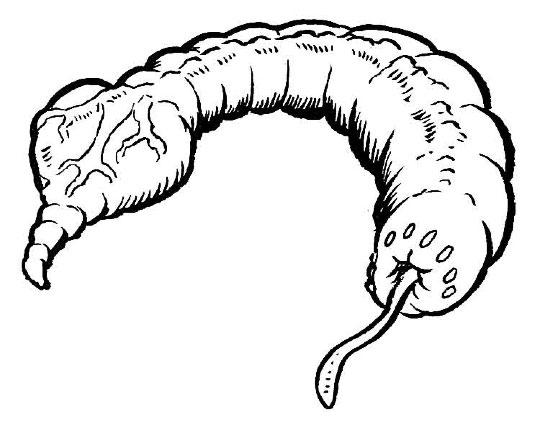 Heart-tailed tube larva