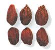 Galla seed