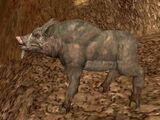 Zucca boar